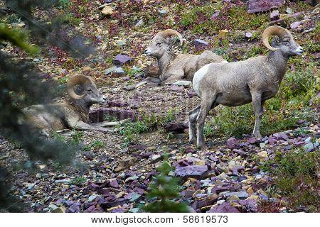 Bighorn Sheep In Glacier National Park