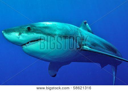 Great white shark posing