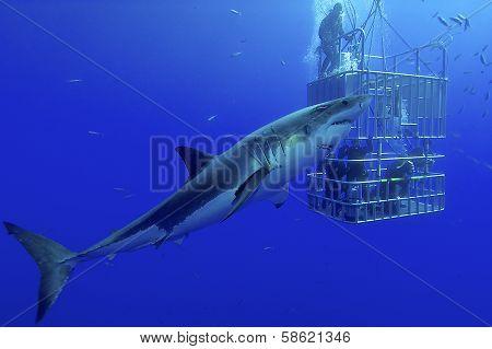 White shark, cage