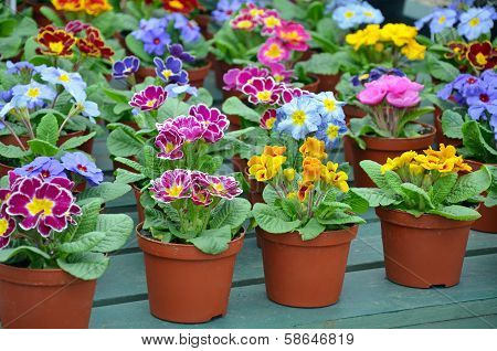 Colorful Winter Pansies