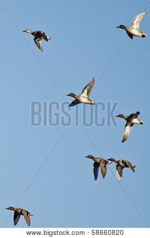 Flock Of Green-winged Teals Flying In A Blue Sky