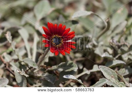 Dramatic Red Osteospermum Daisy Flower