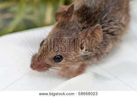 House Mouse Up Close