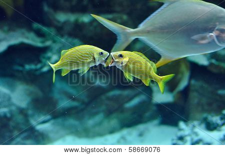 Two Blue Stripe Grunts Yelling In Tropical Waters