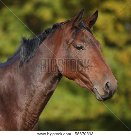 Nice Brown Warmblood With Black Mane