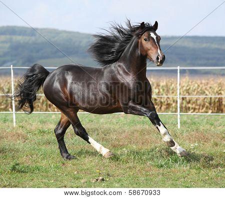 Nice Brown Stallion With Long Mane Running