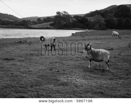 Sheep by the River