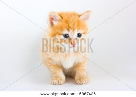 Foxy kitten sitting on the white background