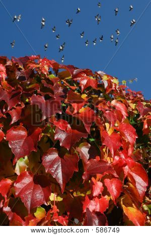 Red Ivy And Doves Above
