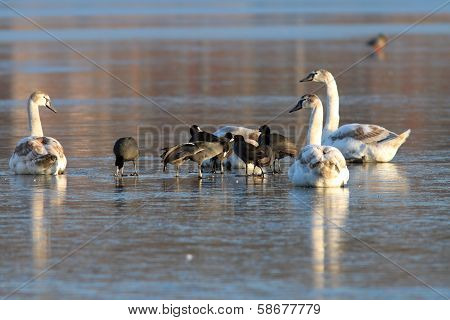 Coots And Swans Flock Standing On Ice