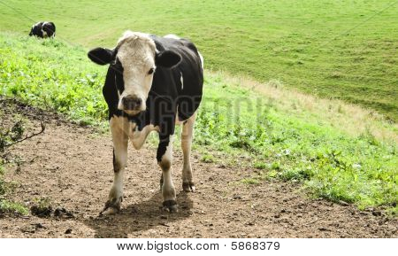 Young Fresian Cow Standing in Field