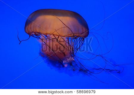 Jellyfish Isolated On Blue