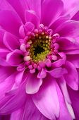 Close Up Of Pink Aster