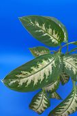 Leaves Of The Flower (dieffenbachia)