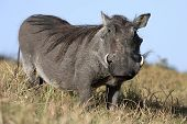 foto of ugly  - Warthog with ugly face and coarse body hair - JPG
