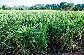 stock photo of sugar industry  - Sugar cane is industrial drop in Kanchanaburi Thailand - JPG