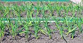 Vegetable Beds For Growing Garlic