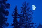 stock photo of moon silhouette  - Silhouettes of pine trees with the gibbous moon in background - JPG