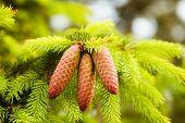 image of seed bearing  - pine tree bearing pines  - JPG