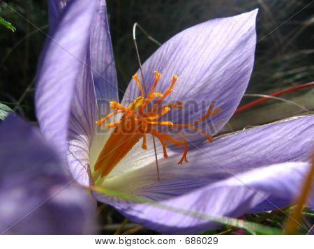 Crocus Speciosus Subsp Speciosus November