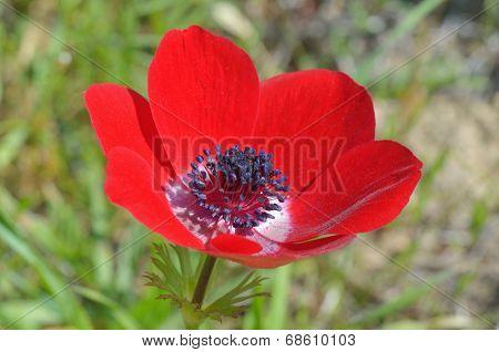 Wild Anemone Flower