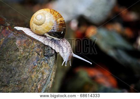 Curious Snail On Stone