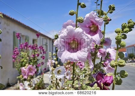 Hollyhock In An Empty Street In A Village On Ile D'aix Of France.