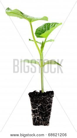 Young Opo Squash Tree