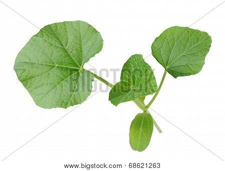 Opo Squash Leaf