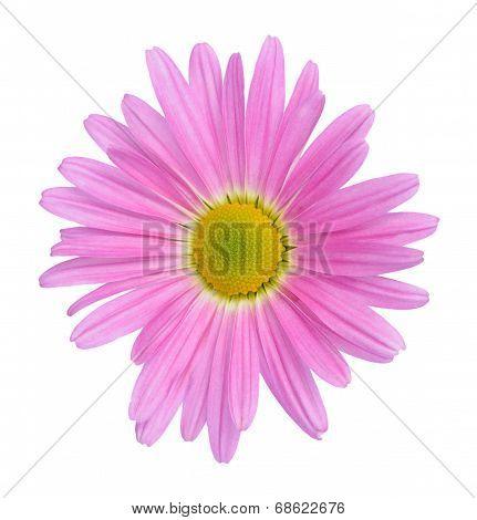 Pink Hardy Garden Mum