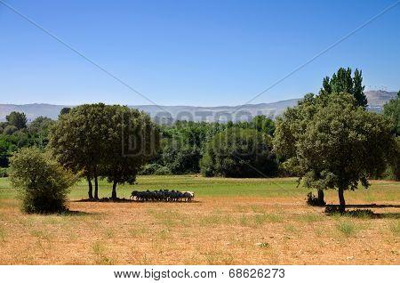 Flock Of Sheep Under Tree Shadow
