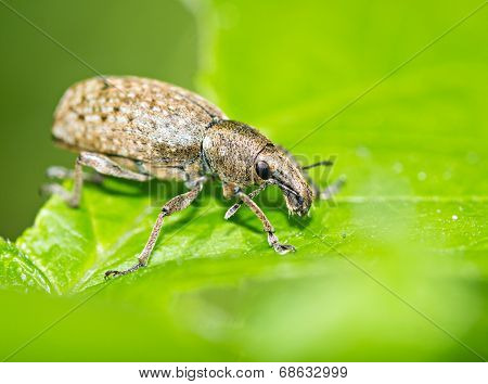 Brown Beetle On Green Leaf