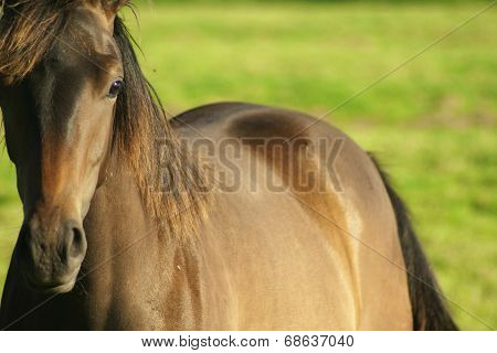 brown horse closeup