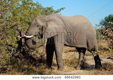 African elephant (Loxodonta africana) feeding on a tree, Sabie-Sand nature reserve, South Africa