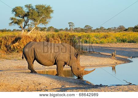A white rhinoceros (Ceratotherium simum) drinking water, South Africa