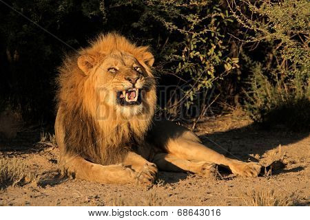 Big male African lion (Panthera leo) snarling, South Africa