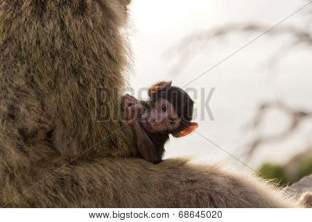 A Baby Berber Monkey With Its Mother In Gibraltar