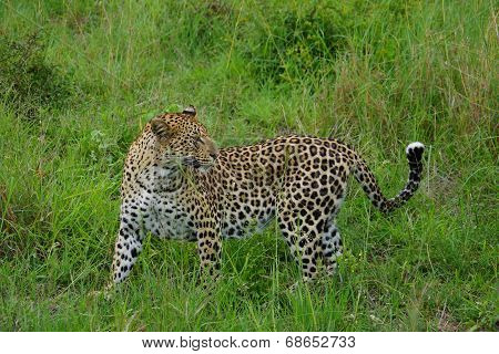 Leopard Turning Back