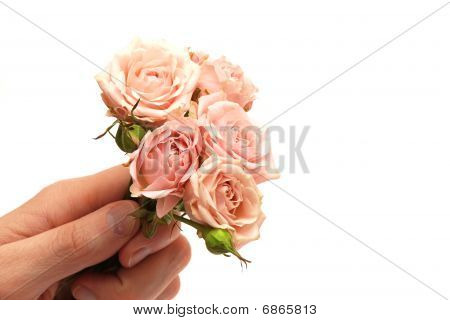 Delicate Pink Roses In Hand Isolated On White Background