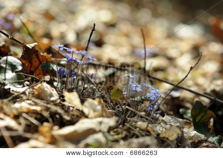 Hepatica Flowers In A Spring Forest