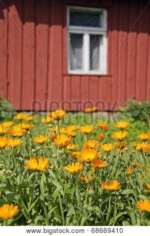 Calendula Marigold Medical Flowers In Farm  Near House