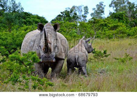 rhino with its calf
