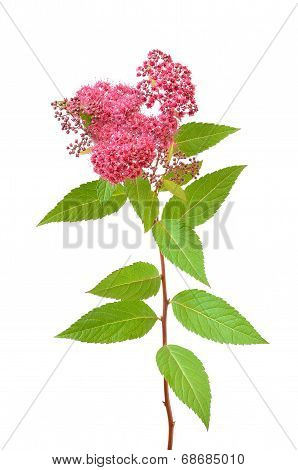 Spiraea Japonica (japanese Spiraea) Branch