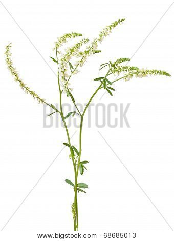 Melilotus Albus Flower