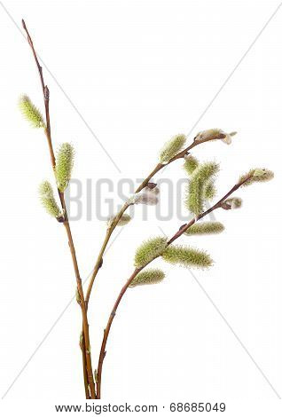 Salix Branches