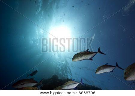 Blauflossen-Makrelen und Ozean