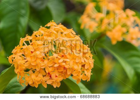 Blooming Yellow Ixora Flowers.