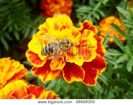 bee on the marigold flower