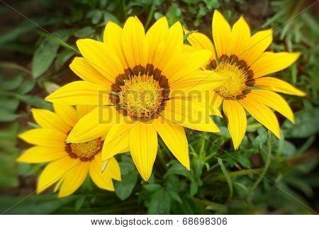 yellow gazania flowers