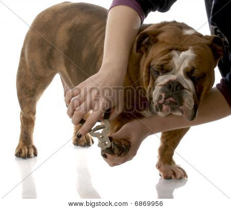 Cutting Bulldog Toe Nails